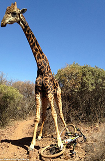Giraffe destroys bike
